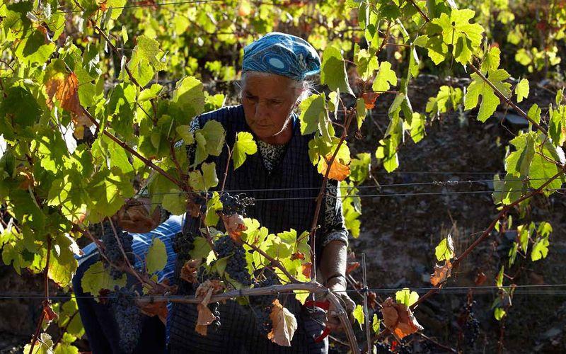 Douro_harvesting_1