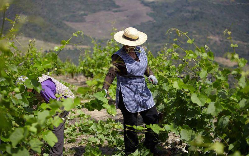 Douro_harvesting_3